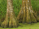 Two Bald Cypress Trees, Magnolia Plantation, Charleston, South Carolina, USA Photographic Print by Corey Hilz