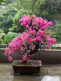 Spring Blossoms cover Bonsai, The Chi Lin Buddhist Nunnery, Wong Tai Sin District, Hong Kong, China Photographic Print by Charles Crust