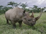 Black Rhinoceros, Kenya Photographic Print by Adam Jones