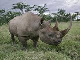 Black Rhinoceros, Kenya Photographic Print by Adam Jones