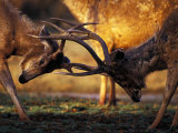 Barasingha, Khana National Park, India Photographic Print by Gavriel Jecan