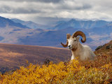 Dall Ram Resting On A Hillside, Mount Margaret, Denali National Park, Alaska, USA Photographic Print by Steve Kazlowski
