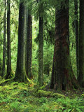 Virgin Sitka Spruce, Hoh Rain Forest, Olympic National Forest, Washington, USA Photographic Print by Charles Gurche