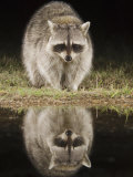 Northern Raccoon, Uvalde County, Hill Country, Texas, USA Photographic Print by Rolf Nussbaumer