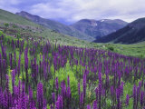 Wildflowers in Alpine Meadow, Ouray, San Juan Mountains, Rocky Mountains, Colorado, USA Stampa fotografica di Rolf Nussbaumer