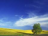 Cottonwood and Canola fields, Whitman County, Washington, USA Photographic Print by Charles Gurche