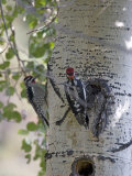 Red-Naped Sapsucker, Rocky Mountain National Park, Colorado, USA Photographic Print by Diane Johnson