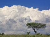 Umbrella Thorn Acacia, Lake Nakuru National Park, Kenya Photographic Print by Adam Jones
