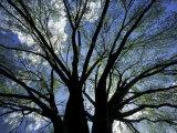 Adam Jones - Pattern of Branches in Stately American Elm Tree Fotografická reprodukce