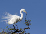 Great Egret, Alligator Farm Rookery, St Augustine, Florida Photographic Print by Diane Johnson