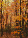 Autumn forest, Blue Ridge Parkway, Virginia, USA Photographic Print by Charles Gurche