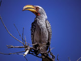 Yellow-Billed Hornbill, Tarangire, Tanzania Photographic Print by Marilyn Parver