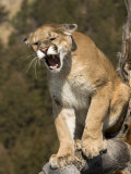 Mountain Lion Snarling Aggressively Photographic Print by Joe McDonald