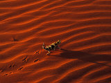 Thorny Devil, Central Desert, Australia Photographic Print by Gavriel Jecan