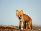 Red Fox, North Slope of Brooks Range, Alaska, USA Photographic Print by Steve Kazlowski