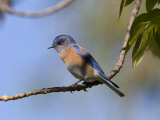 Western Bluebird, San Diego County, California, USA Photographic Print by Diane Johnson
