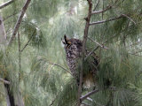 Long-Eared Owl, Anza-Borrego Desert State Park, California, USA Photographic Print by Diane Johnson