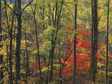 Autumn forest near Peaks of Otter, Blue Ridge Parkway, Appalachian Mountains, Virginia, USA Photographic Print by Charles Gurche