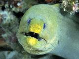 Green Moray, Caribbean Reproduction photographique par Michael DeFreitas