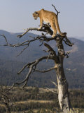 Cougar in a Tree Photographic Print by Joe McDonald