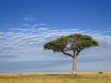 Umbrella Thorn Acacia, Masai Mara Game Reserve, Kenya Photographic Print by Adam Jones