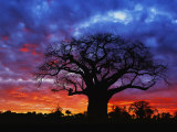 African baobab tree, Tarangire National Park, Tanzania Photographic Print by Adam Jones
