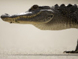 American Alligator, Everglades National Park, Florida, USA Photographic Print by Joe McDonald