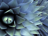 Pattern in Agave Cactus Photographic Print by Adam Jones