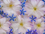 Montage of Cherry Blossoms and Blue Flowers Photographic Print by Don Paulson