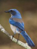 Western Scrub-Jay, Uvalde County, Hill Country, Texas, USA Photographic Print by Rolf Nussbaumer