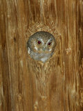 Elf Owl in Nest Hole, Madera Canyon, Arizona, USA Photographic Print by Rolf Nussbaumer