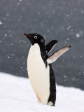 Adelie Penguin in Falling Snow, Western Antarctic Peninsula, Antarctica Photographic Print by Steve Kazlowski
