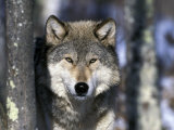 Wolf, Minnesota, USA Photographic Print by Gavriel Jecan