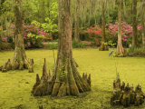 Bald Cypress Trees surrounded by Duckweed, Magnolia Plantation, Charleston, South Carolina, USA Photographic Print by Corey Hilz