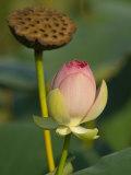 Lotus Blossom, Kenilworth Aquatic Gardens, Washington DC, USA Photographic Print by Corey Hilz