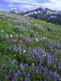Lupine and Indian Paintbrush beneath the Tatoosh Range, Mt. Rainier National Park, Washington, USA Photographic Print by Charles Gurche