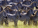 Large herd of Burchell's Zebras, Masai Mara Game Reserve, Kenya Photographic Print by Adam Jones