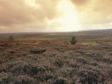 Heather, near Danby, North York Moors, England Photographic Print by Alan Klehr