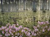 Bald Cypress Swamp in Fog, Cypress Gardens, Moncks Corner, South Carolina, USA Photographic Print by Corey Hilz