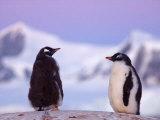 Gentoo Penguin Chicks At Twilight, Western Antarctic Peninsula, Antarctica Photographic Print by Steve Kazlowski