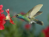 Hummingbird Feeding on Petunia, Madera Canyon, Arizona, USA Photographic Print by Rolf Nussbaumer