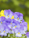 Lavendar and Yellow Pansies, Seattle, Washington, USA Photographic Print by Terry Eggers