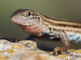Texas Spotted Whiptail, Uvalde County, Hill Country, Texas, USA Photographic Print by Rolf Nussbaumer