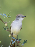 Ash-Throated Flycatcher, Uvalde County, Hill Country, Texas, USA Papier Photo par Rolf Nussbaumer