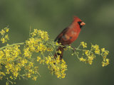 Northern Cardinal on Blooming Paloverde, Rio Grande Valley, Texas, USA Photographic Print by Rolf Nussbaumer