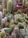 Cactus at the Bloemenmarket, Amsterdam, Netherlands Photographic Print by Marilyn Parver