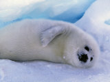 Harp Seal, Gulf of St. Lawrence, Canada Photographic Print by Gavriel Jecan