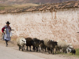 Local Woman Herding Sheep, Maras, Sacred Valley of the Incas, Peru Photographic Print by Diane Johnson