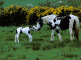 Irish Colt and Mother, County Cork, Ireland Photographic Print by Marilyn Parver