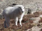 Mountain Goat, Mount Evans, Rocky Mountains, Colorado, USA Photographic Print by Diane Johnson
